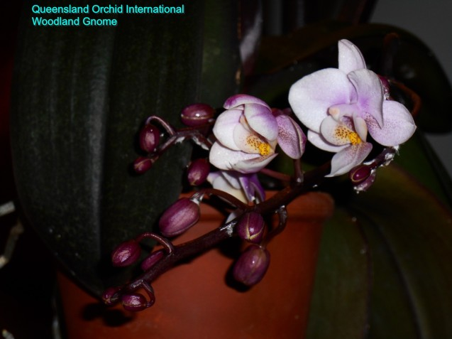 january-28-Phalaenopsis-009