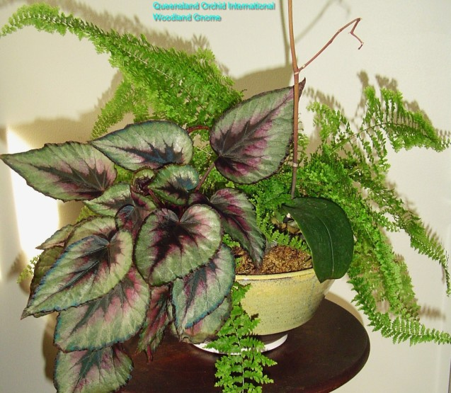 july-14-fern-begonia-and-Phalaenopsis-004
