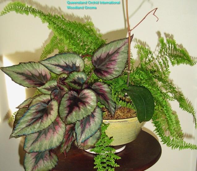 july-14-fern-begonia-and-Phalaenopsis-004