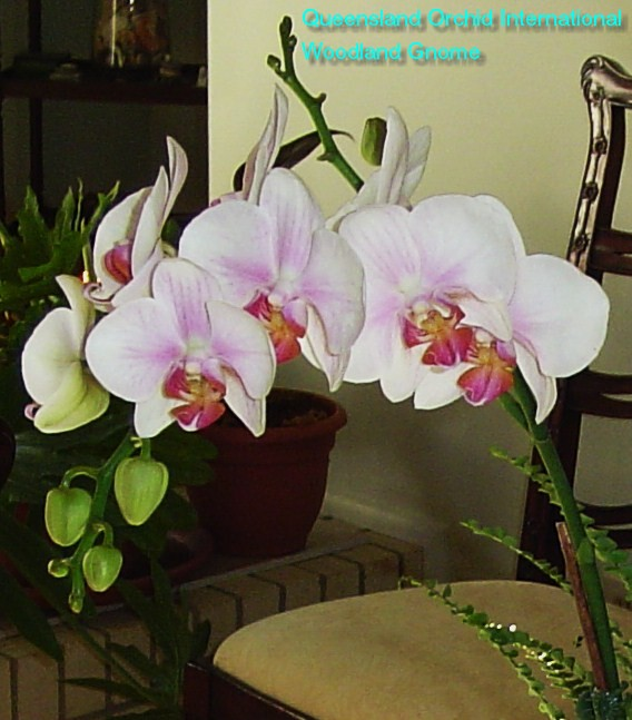 Phalaenopsis-arrangement-005
