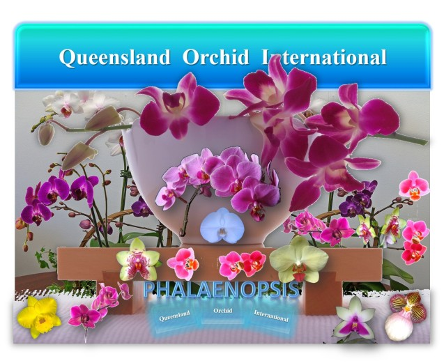 Queensland Orchid International Phalaenopsis