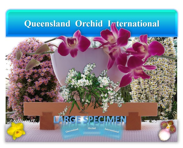 Queensland Orchid International Large Specimen
